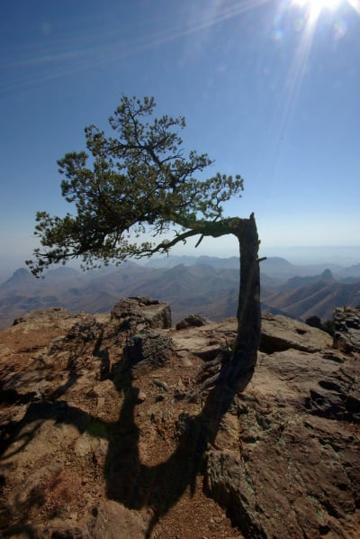 Im Sturm gebogener Baum