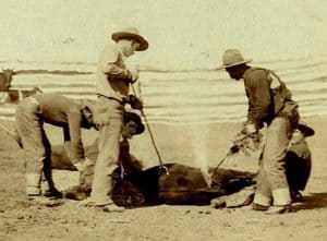 Cowboys branding a calf (South Dakota 1888)